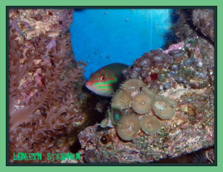 Coral Reef Aquarium - Fish Finder - Clown Wrasse