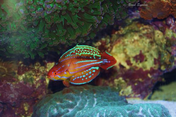 Coral Reef Aquarium - Fish Finder - Diamond Tail Flasher Wrasse