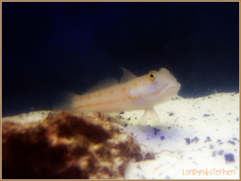 Coral Reef Aquarium - Fish Finder - Diamond Watchman Goby