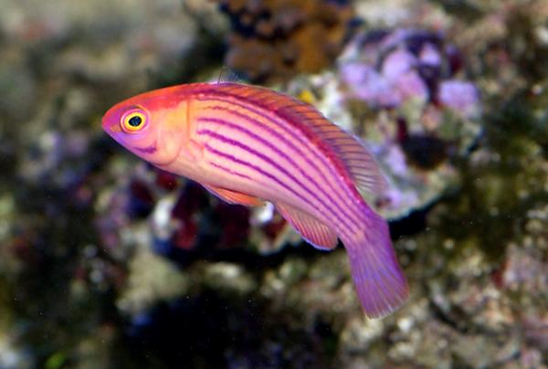 Coral Reef Aquarium - Fish Finder - Earle's Fairy Wrasse
