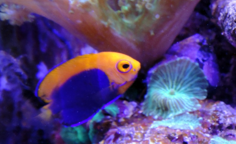 Coral Reef Aquarium - Fish Finder - Flameback Angelfish