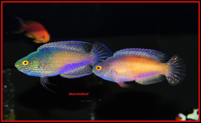 Coral Reef Aquarium - Fish Finder - Golden Rhomboid Fairy Wrasse