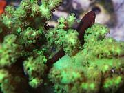 -green_clown_goby-jpg