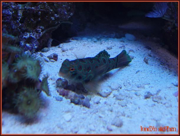 Coral Reef Aquarium - Fish Finder - Green Mandarin Dragonet