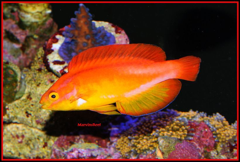 Coral Reef Aquarium - Fish Finder - Hawaiian Flame Fairy Wrasse