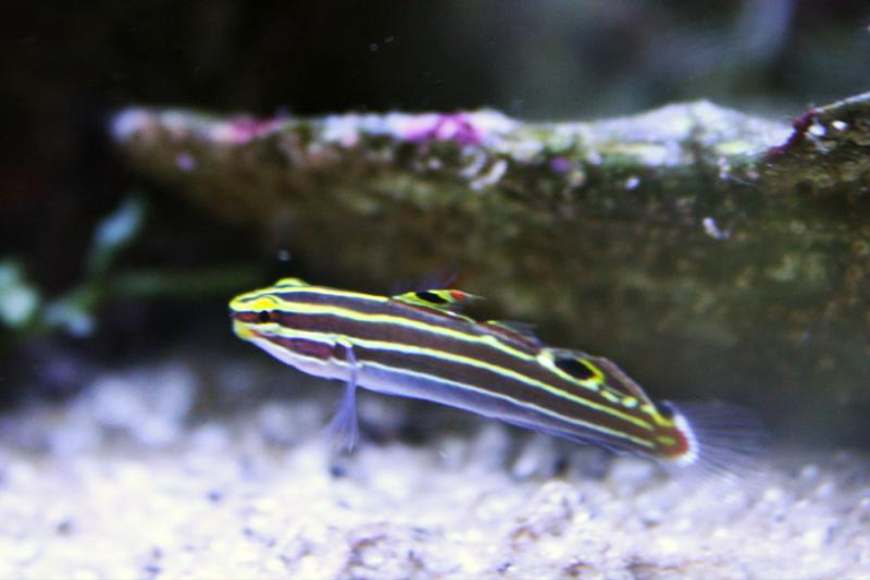 Coral Reef Aquarium - Fish Finder - Hector's Goby
