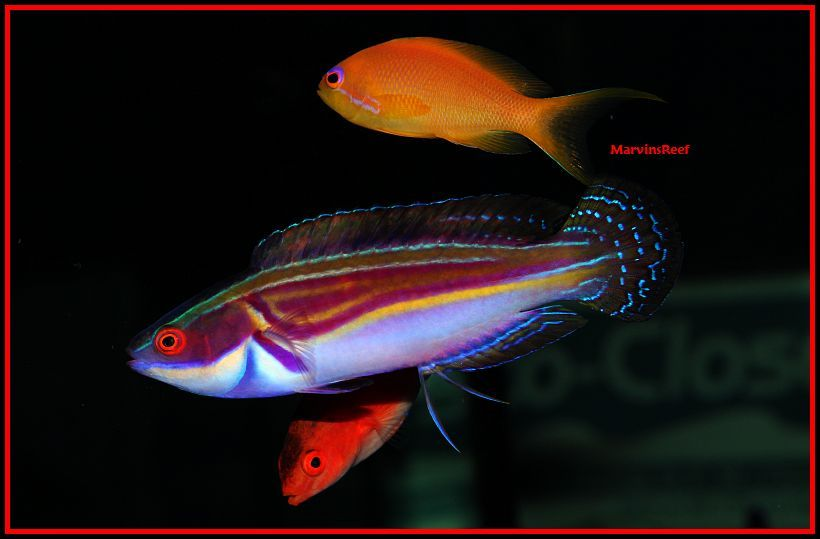 Coral Reef Aquarium - Fish Finder - Laboutei Fairy Wrasse