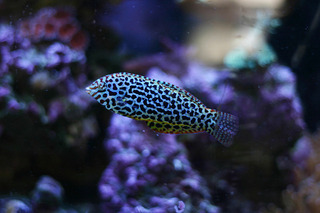Coral Reef Aquarium - Fish Finder - Leopard Wrasse