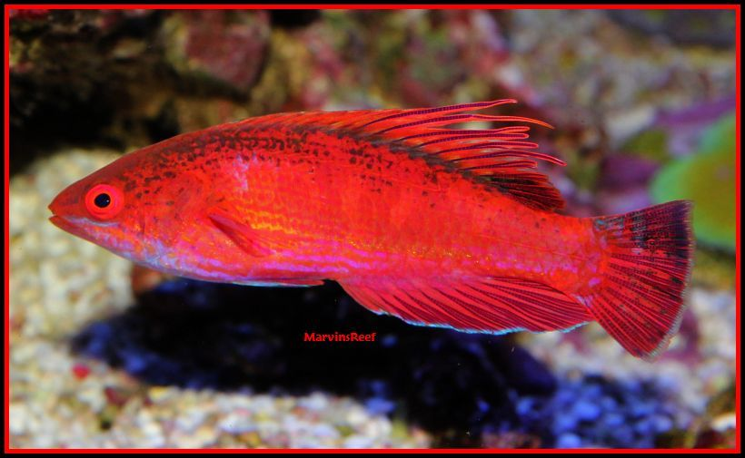 Coral Reef Aquarium - Fish Finder - LineSpot Flasher Wrasse