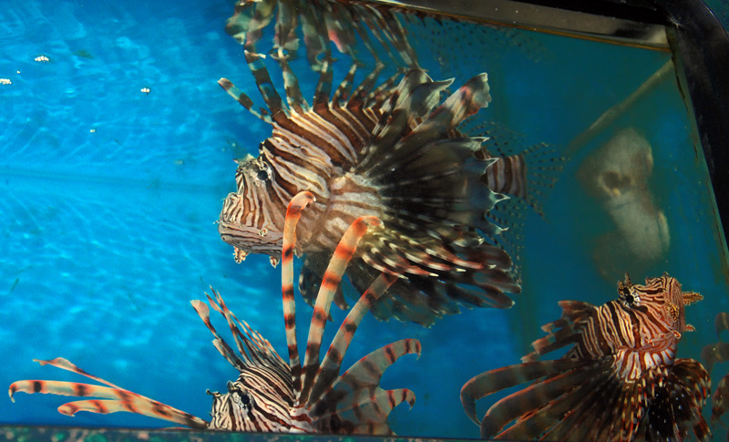 Coral Reef Aquarium - Fish Finder - Lion Fish