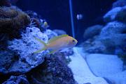 -lyretail-anthias-4.jpg