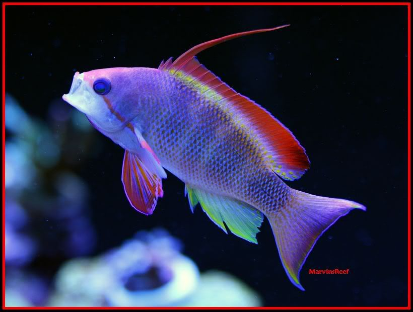 Coral Reef Aquarium - Fish Finder - Lyretail Anthias