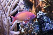 -male-anthias-jpg