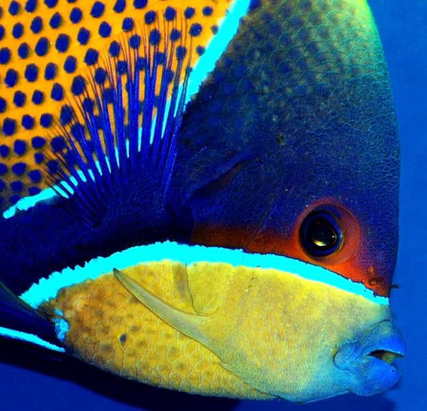 Coral Reef Aquarium - Fish Finder - Majestic Angelfish
