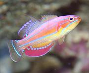 -fish-male-mccoskers-wrasse-ii-1feb09-jpg