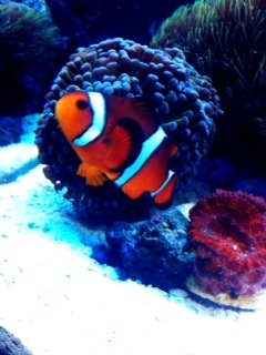 Coral Reef Aquarium - Fish Finder - Ocellaris Clownfish