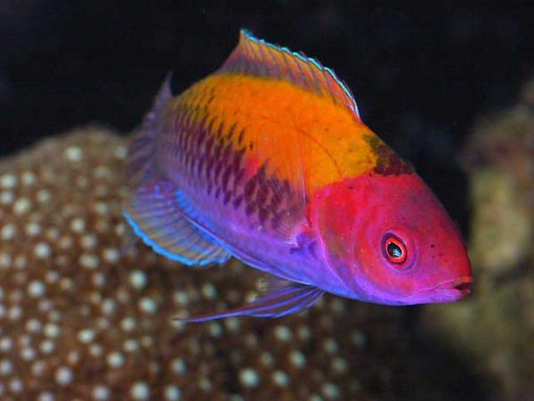 Coral Reef Aquarium - Fish Finder - Orange Back Wrasse
