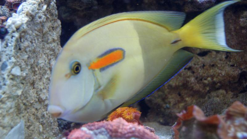 Coral Reef Aquarium - Fish Finder - Orange Shoulder Tang