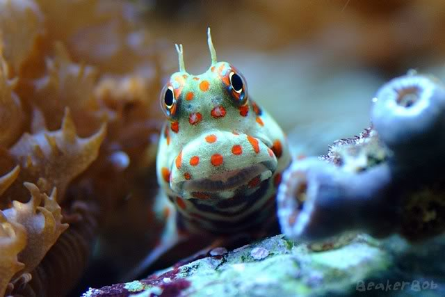 Coral Reef Aquarium - Fish Finder - Orange spotted blenny