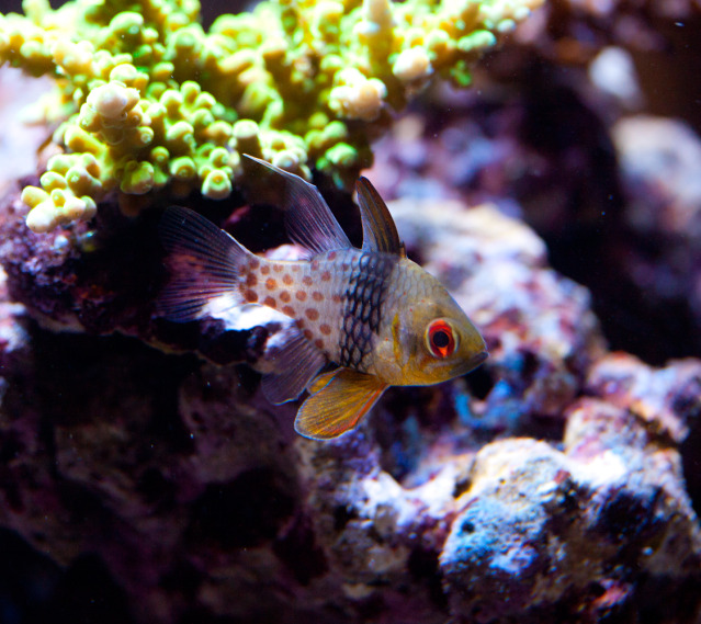Coral Reef Aquarium - Fish Finder - Pajama Cardinalfish