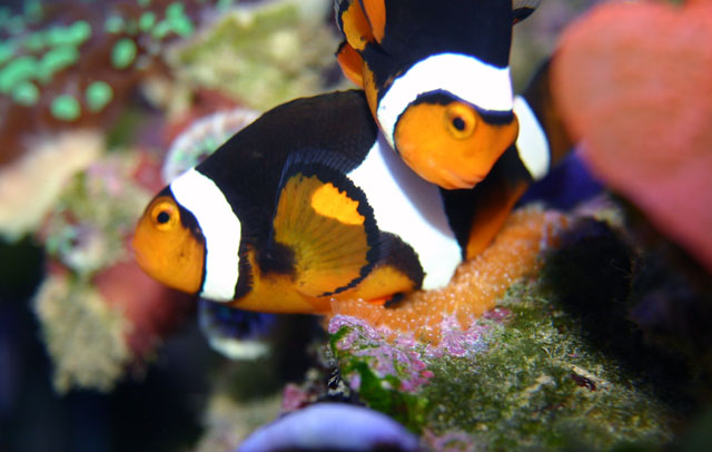 Coral Reef Aquarium - Fish Finder - Percula Clownfish (laying eggs)