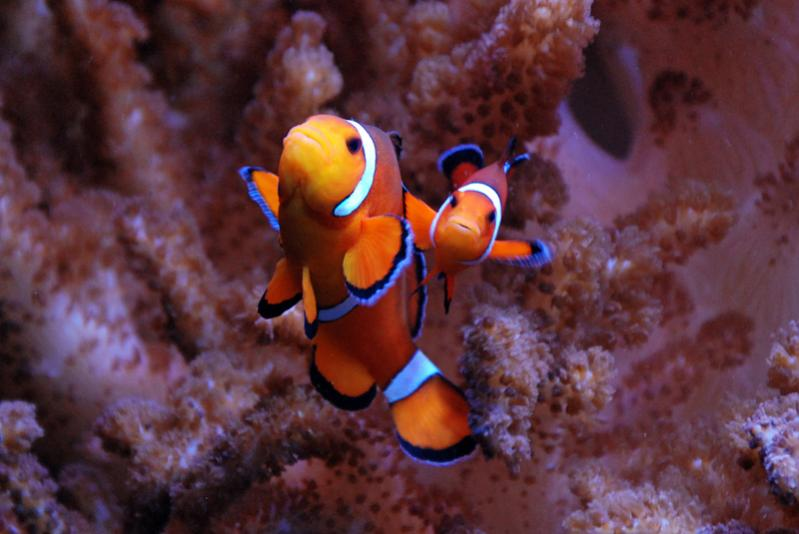 Coral Reef Aquarium - Fish Finder - Percula Clowns