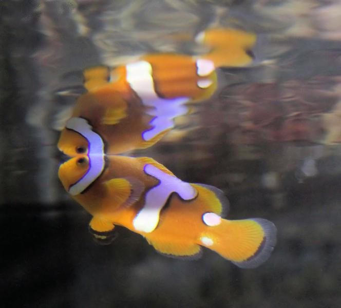 Coral Reef Aquarium - Fish Finder - Picasso clown