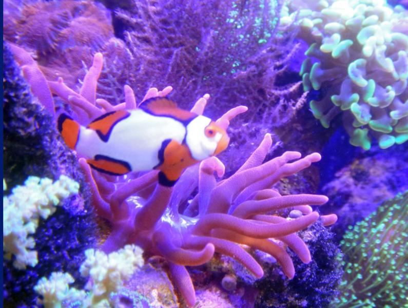Coral Reef Aquarium - Fish Finder - Picasso Clownfish