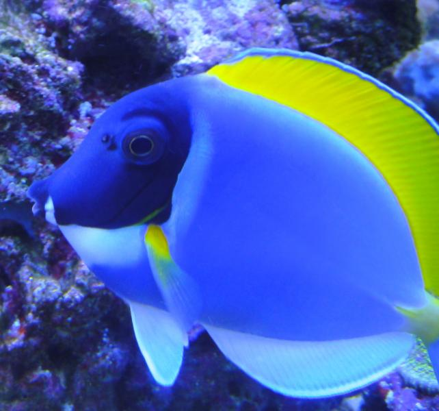 Coral Reef Aquarium - Fish Finder - Powder Blue Tang