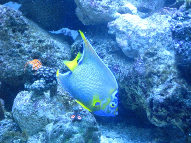 Coral Reef Aquarium - Fish Finder - Queen Angel