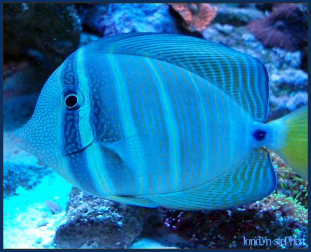 Coral Reef Aquarium - Fish Finder - Sailfin Tang