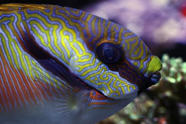 Coral Reef Aquarium - Fish Finder - Scribbled Rabbitfish