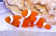 -tangerine-clownfish-jpg