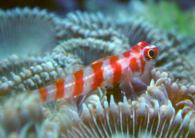 Coral Reef Aquarium - Fish Finder - Trimma Goby