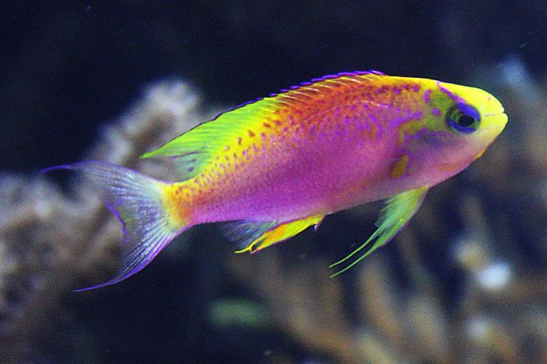 Anthias fish quotes for 94 1 the fish