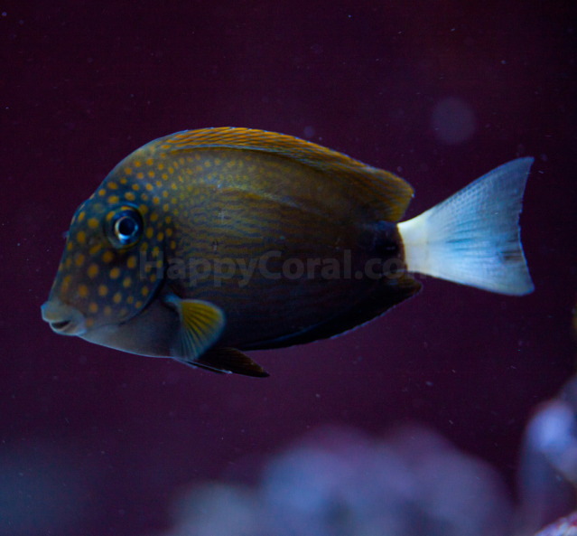 Coral Reef Aquarium - Fish Finder - White Freckle-Faced Tang