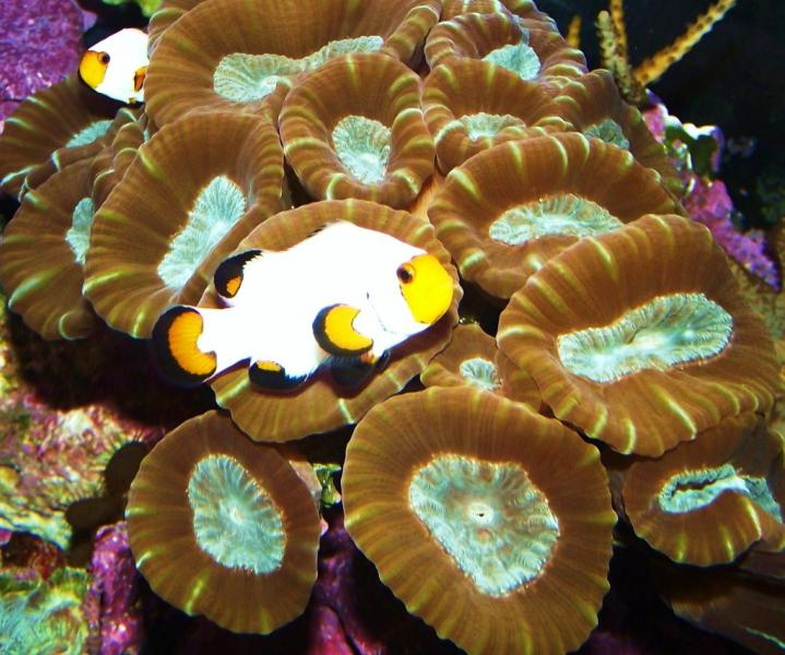 Coral Reef Aquarium - Fish Finder - Wyoming white pair.