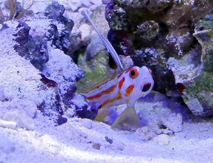 Coral Reef Aquarium - Fish Finder - Yasha Goby