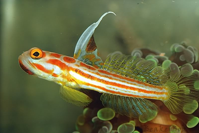 Feast your eyes yasha white ray shrimp goby for Saltwater goby fish