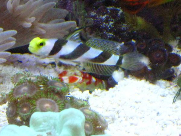 Coral Reef Aquarium - Fish Finder - Yellow Rose Goby