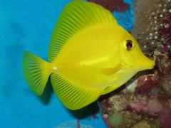 Coral Reef Aquarium - Fish Finder - Yellow Tang