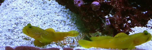 Coral Reef Aquarium - Fish Finder - yellow watchman goby