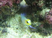 -pearly-jawfish-jpg
