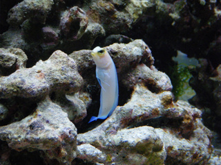 Coral Reef Aquarium - Fish Finder - Yellowheaded Jawfish
