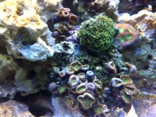 Coral Reef Aquarium - Hardware - LED light coral issue