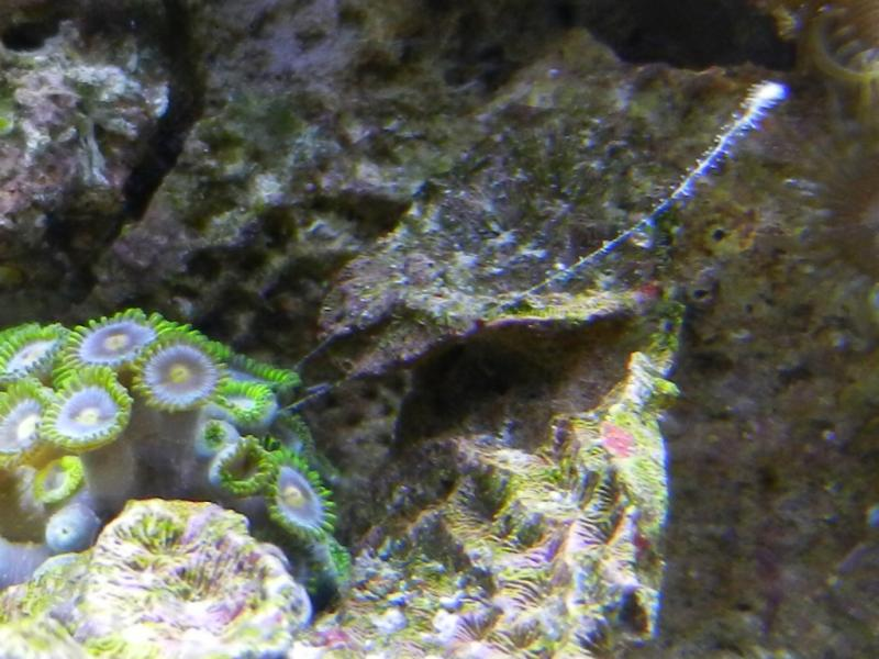 Coral Reef Aquarium - Identification Forum - hydroid or something else?