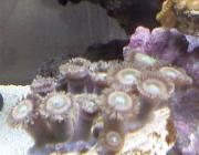 I think its some type odf Rainbow zoa-0227101235a.jpg