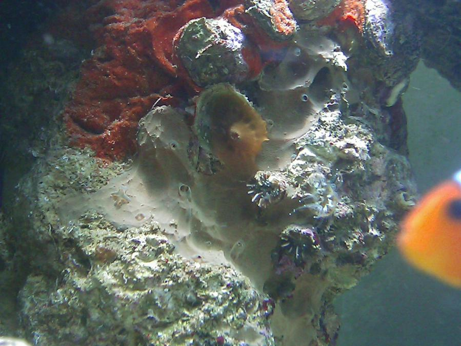 Coral Reef Aquarium - Identification Forum - Not sure what this is..???