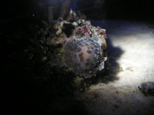Coral Reef Aquarium - Identification Forum - Some type of Sea hare..?