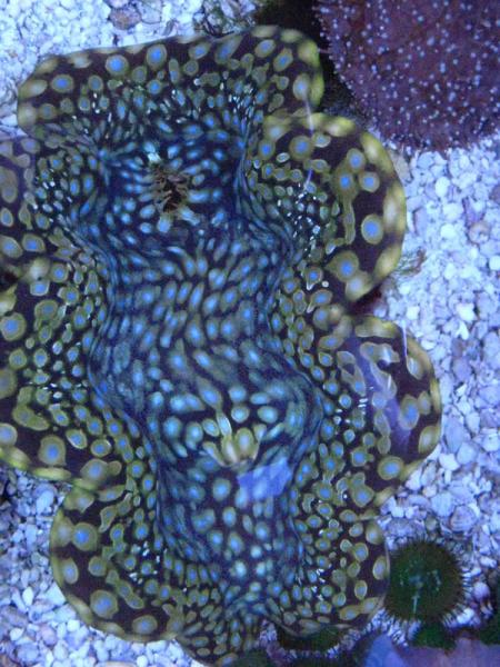 Coral Reef Aquarium - Invert Index - Blue spot T. squamosa